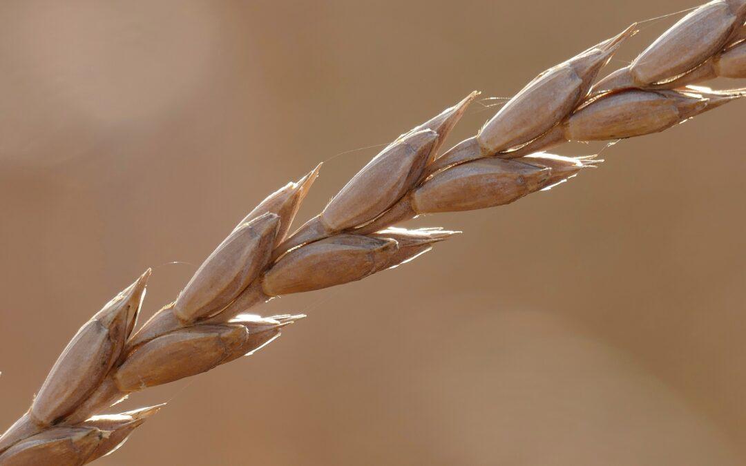 Ancient Grains on Health Agenda