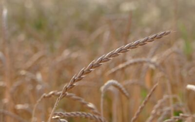 Growth for Ancient Grains